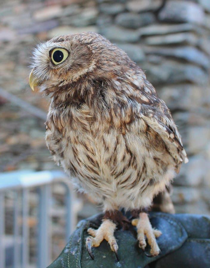 Weinig Owl Athene-noctua in gevangenschap stock foto's