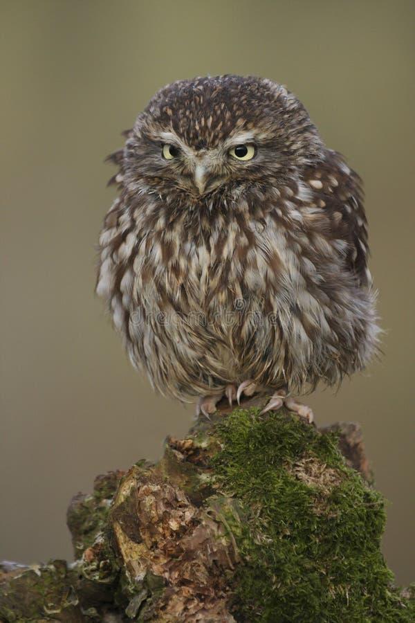 Weinig Owl Athene-noctua het UK royalty-vrije stock afbeeldingen