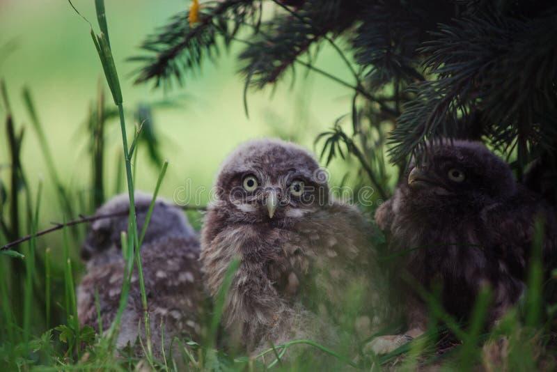 Weinig Owl Babies, 5 weken oud, op gras stock foto