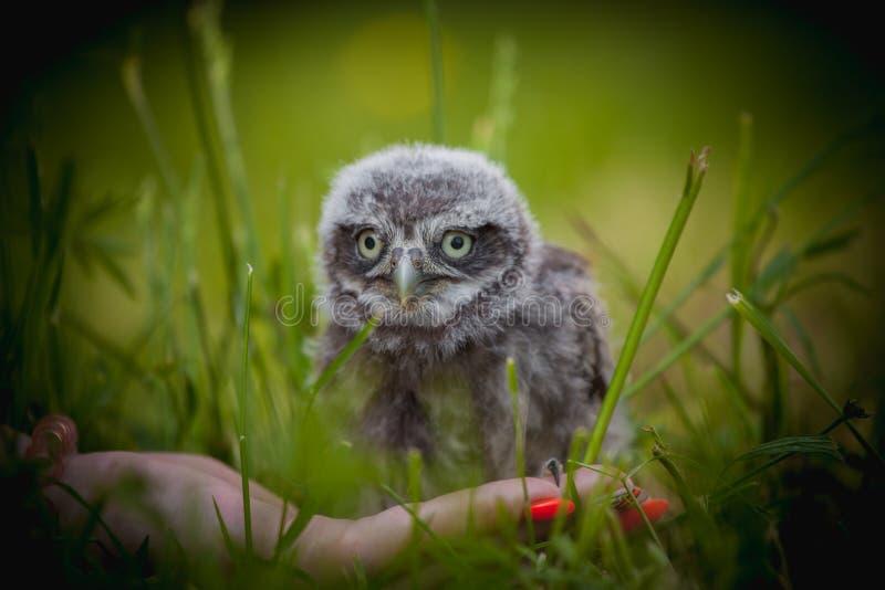 Weinig Owl Baby, 5 weken oud, op gras stock foto's