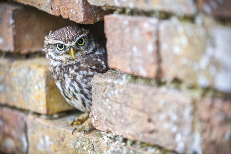 Weinig Owl Looking Out van een Gat in een Muur stock fotografie