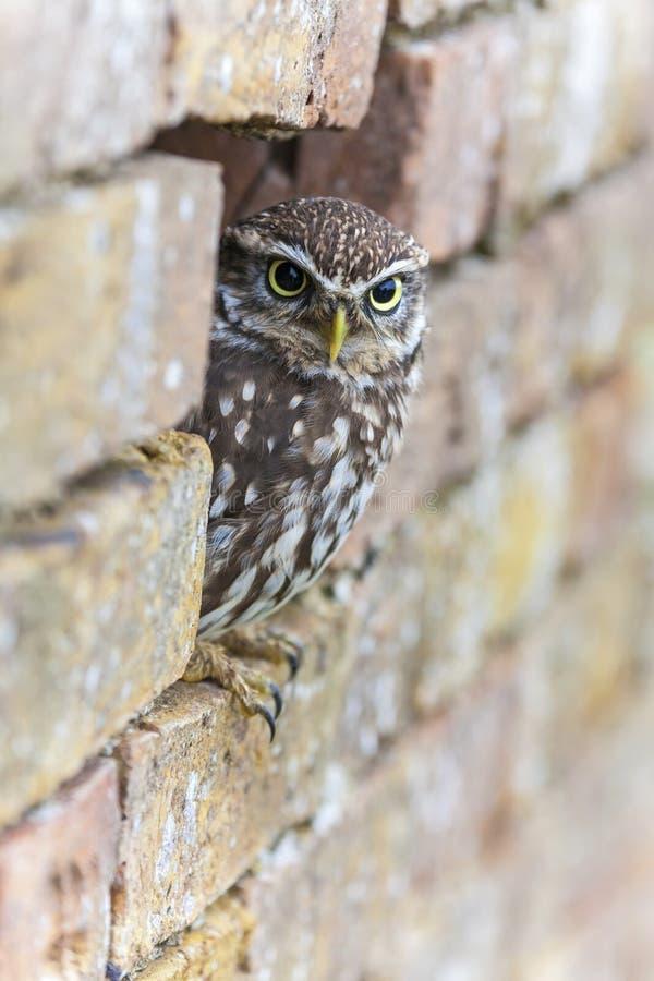Weinig Owl Looking Out van een Gat in een Muur royalty-vrije stock foto