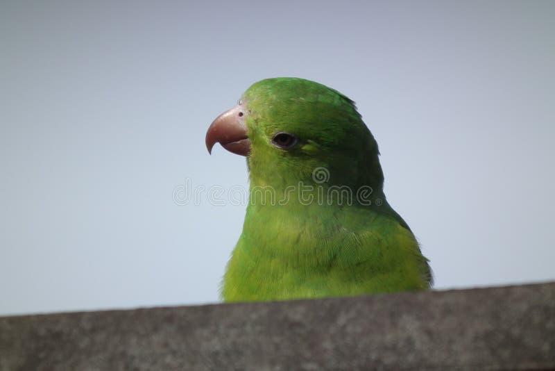 Weinig papegaai (maritaca) royalty-vrije stock foto