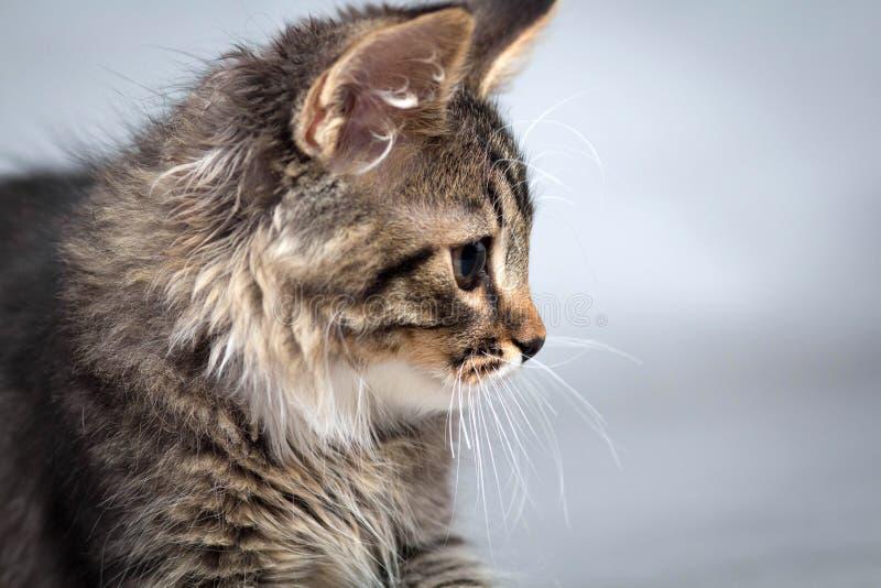 Weinig pluizig katje op een grijze achtergrond royalty-vrije stock afbeelding