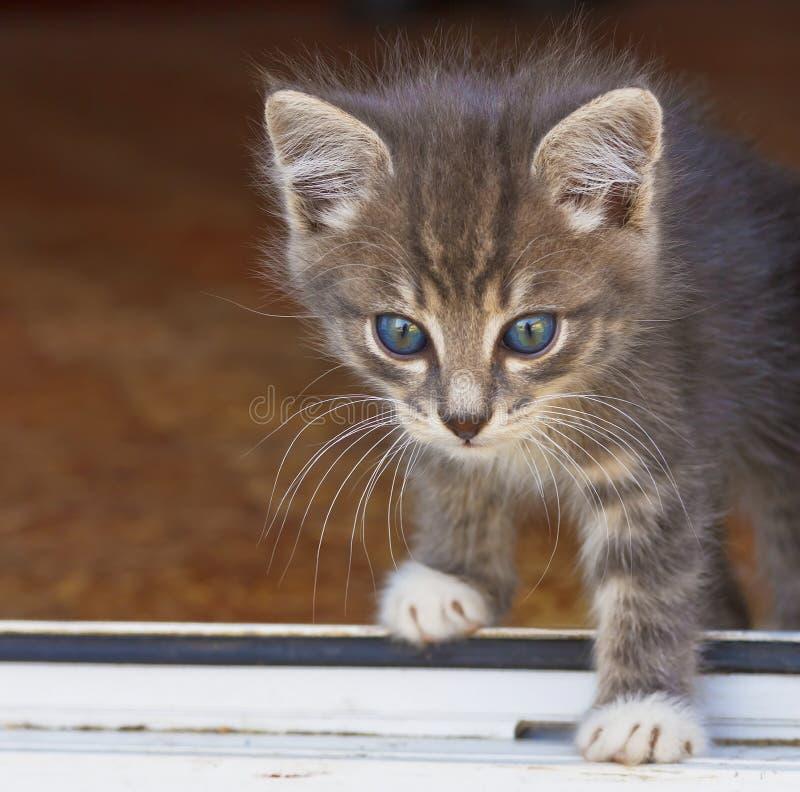Weinig pluizig katje overschrijdt de drempel van het huis stock afbeelding