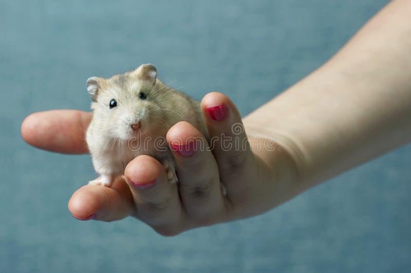 Weinig pluizige hamster in een vrouwelijke hand op blauwe achtergrond stock fotografie
