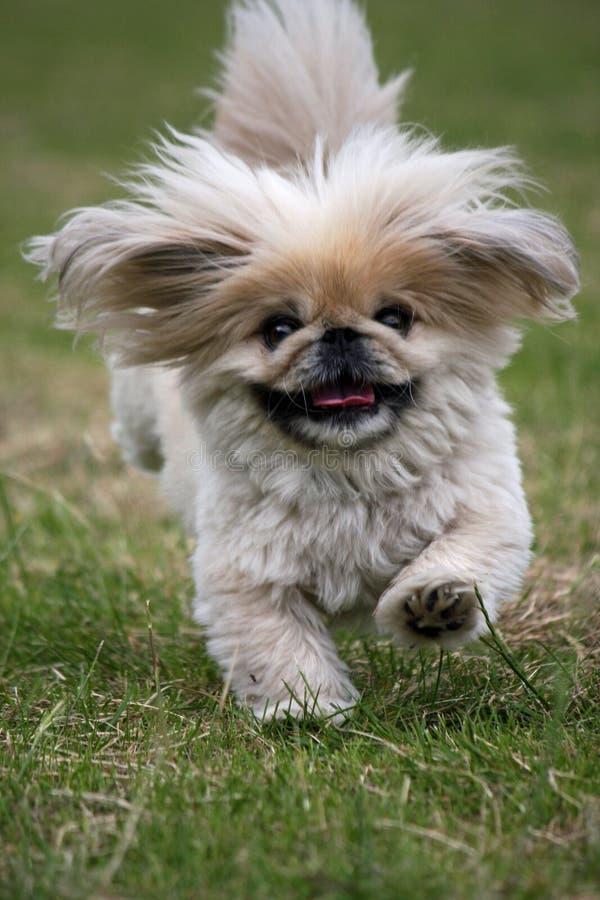 Weinig pluizige hond die zeer snel loopt stock foto's