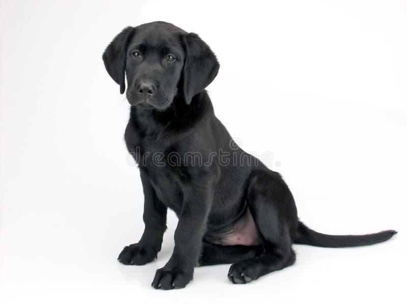 Weinig puppy stock fotografie