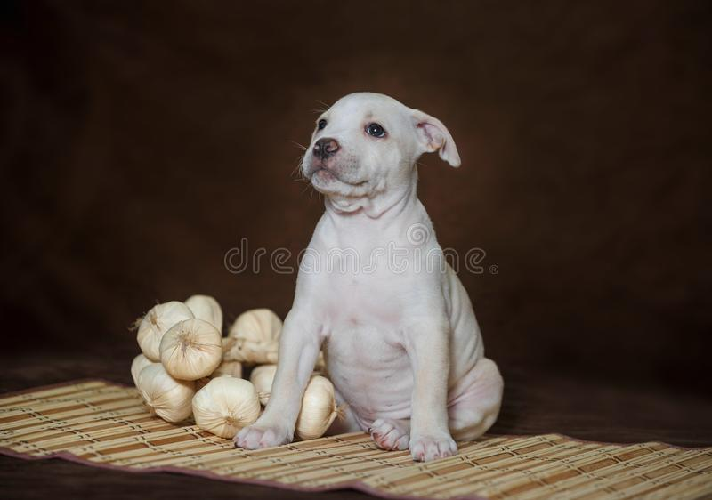 Weinig puppy Amerikaanse kuil bull terrier royalty-vrije stock foto's