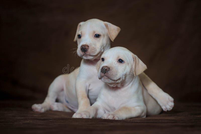 Weinig puppy Amerikaanse kuil bull terrier stock foto's