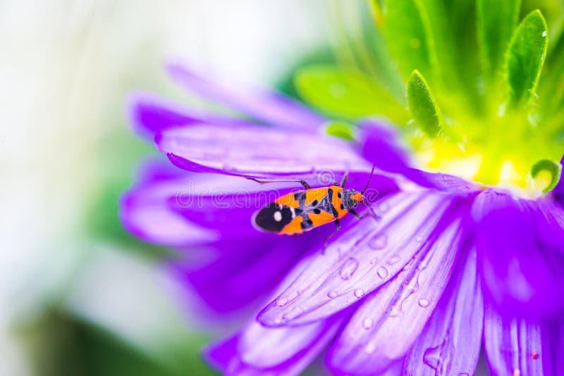 Weinig Pyrrhocoridae-insect die op een violet madeliefje beklimmen stock afbeelding