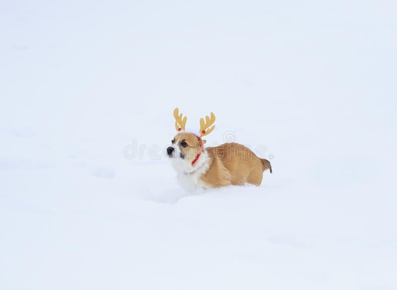 Weinig rode corgipret die van de puppyhond in witte sneeuw in een de winterpark gekleed lopen in feestelijke zachte Kerstmisgewei stock afbeelding