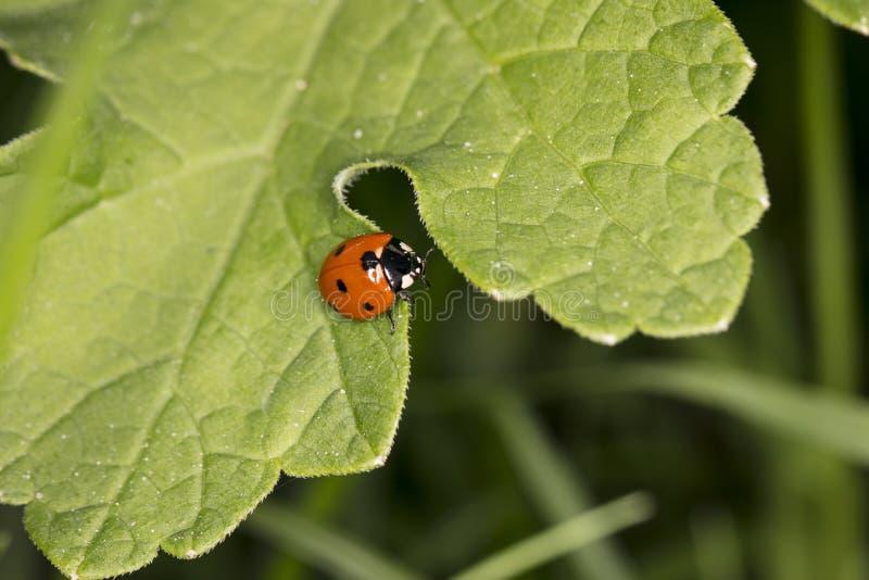 Weinig rood onzelieveheersbeestje met zwarte punten die op een groot groen blad zitten royalty-vrije stock afbeelding