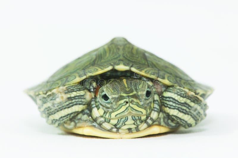 Weinig schildpad royalty-vrije stock afbeeldingen
