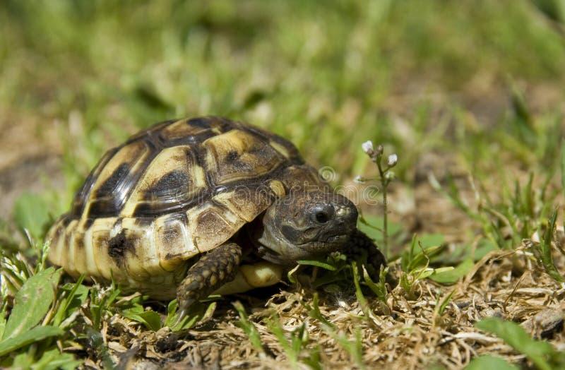 Weinig schildpad stock foto