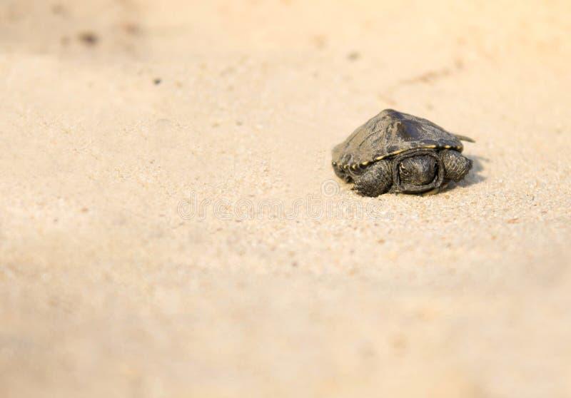 Weinig schildpad die op zand kruipen royalty-vrije stock afbeelding