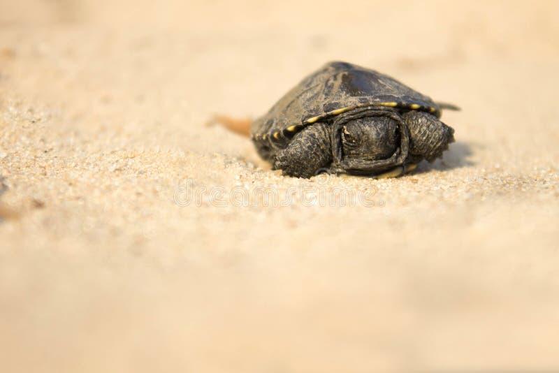 Weinig schildpad die op zand kruipen royalty-vrije stock fotografie