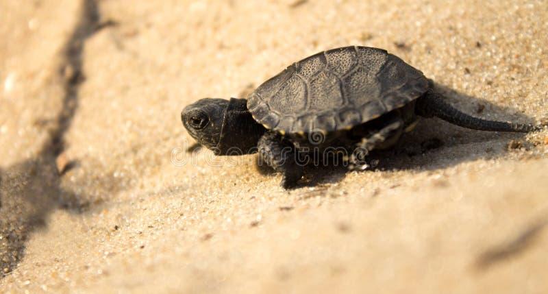 Weinig schildpad die op zand kruipen stock afbeelding