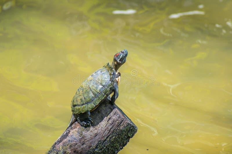 Weinig schildpad en water royalty-vrije stock foto's