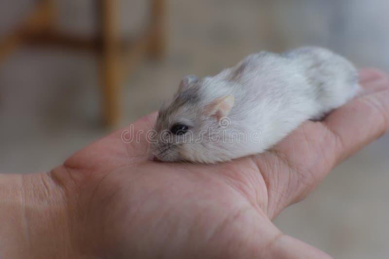 Weinig slaap van de de winter witte hamster op hand royalty-vrije stock afbeeldingen