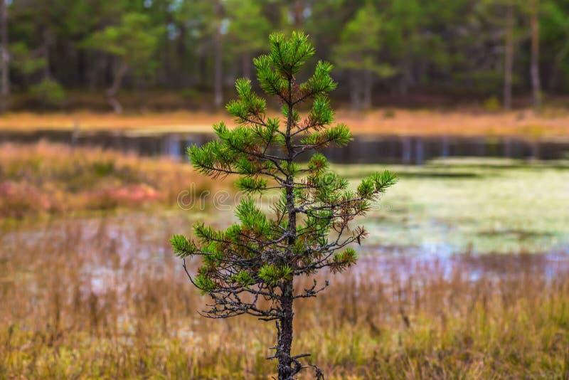 Weinig spar De herfst in hout stock foto's