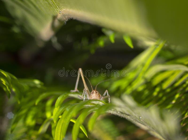 Weinig sprinkhanenzitting in het groene gras in de zomer stock afbeeldingen