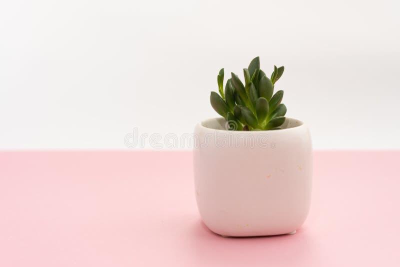 Weinig succulente installatie in een witte pot op een roze en witte achtergrond Het Concept van het ontwerp Exemplaar Ruimtemodel stock afbeelding