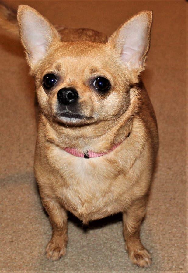 Weinig Tan Chihuahua Waiting voor Haar Eigenaar royalty-vrije stock foto's