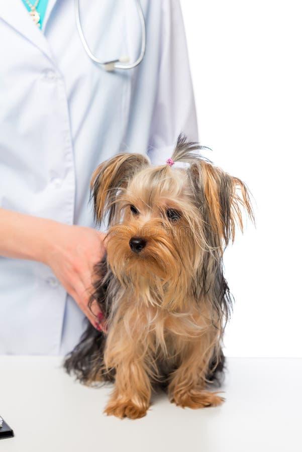 Weinig terriër van Yorkshire op een lijst bij een veterinaire arts stock fotografie