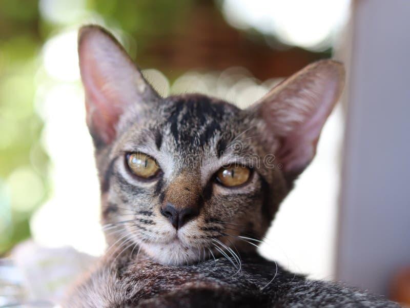 Weinig Thaise ongehoorzame kat in de wereld stock foto