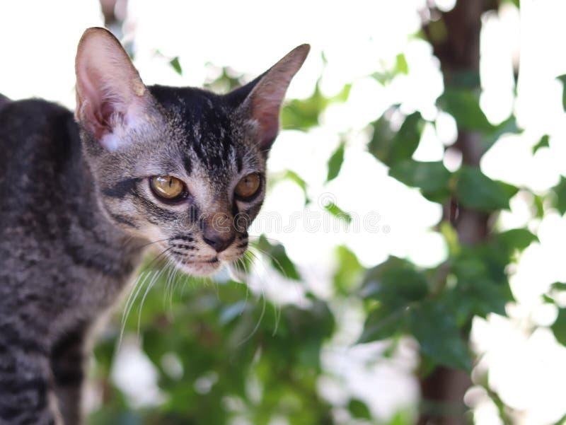 Weinig Thaise ongehoorzame kat in de wereld stock afbeeldingen