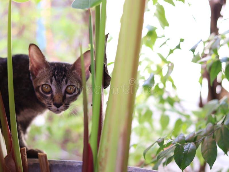 Weinig Thaise ongehoorzame kat in de wereld royalty-vrije stock afbeelding