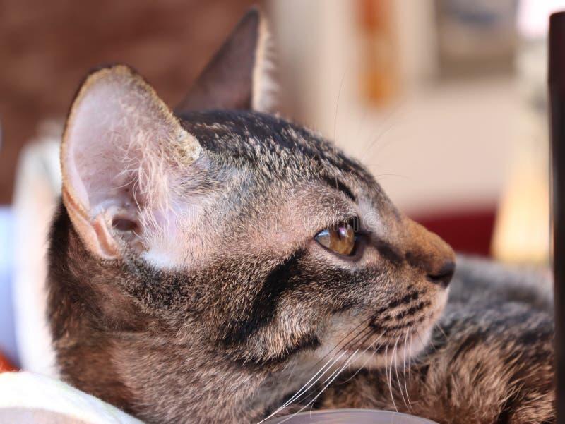 Weinig Thaise ongehoorzame kat in de wereld royalty-vrije stock fotografie