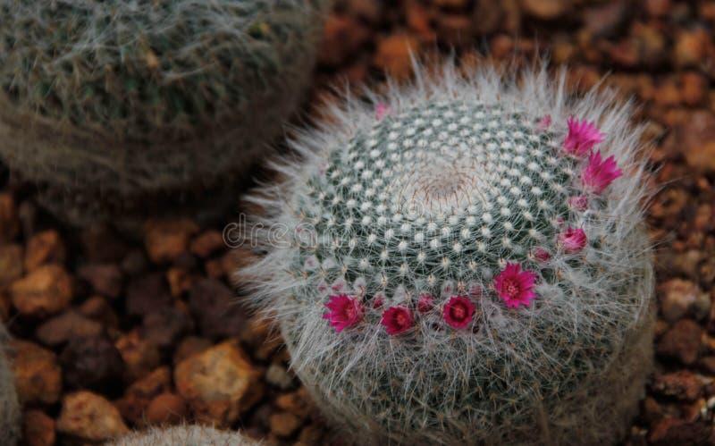 Weinig uiterst kleine cactus met kleine roze bloemen royalty-vrije stock fotografie