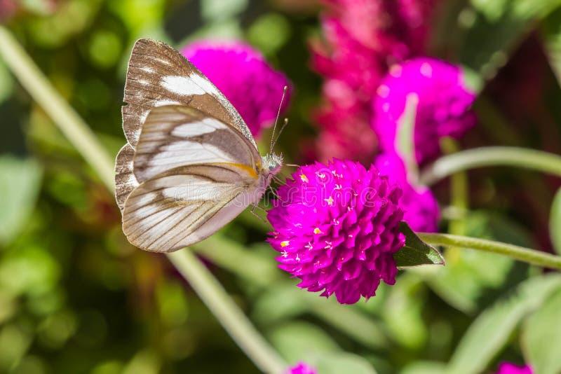 Weinig vlinder op violette bloem stock fotografie