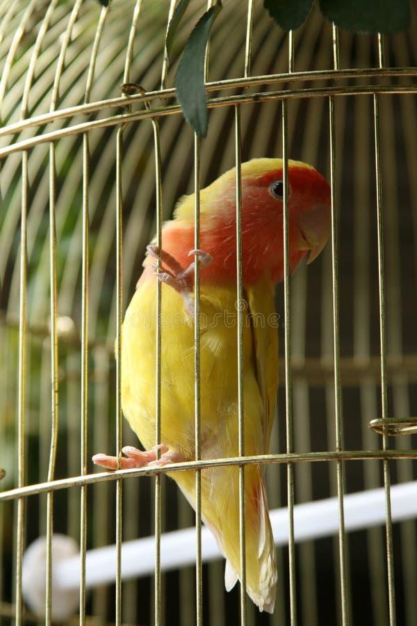 Weinig vogel in de kooi stock afbeeldingen