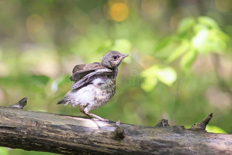 Weinig vogel de Merel zit op een boom en het wachten op ouders royalty-vrije stock foto