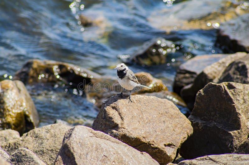 Weinig vogel op de stenen dichtbij het water royalty-vrije stock afbeelding