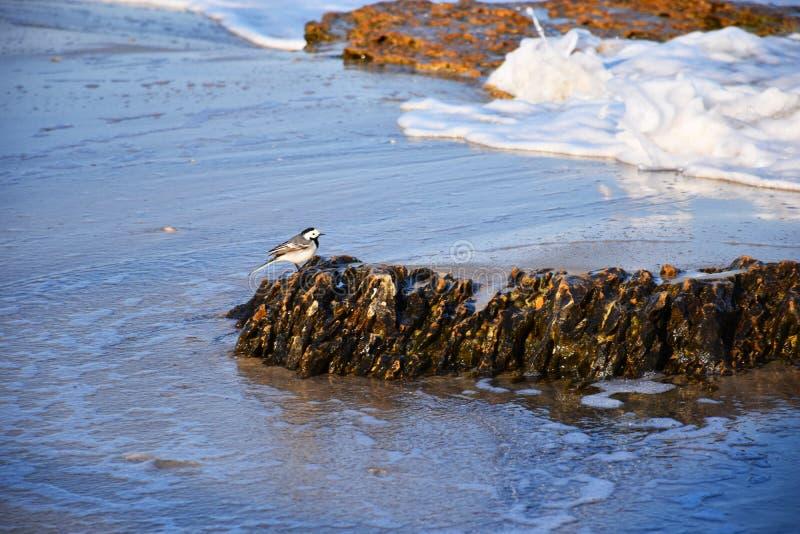 Weinig vogel op een steen door het overzees stock foto's