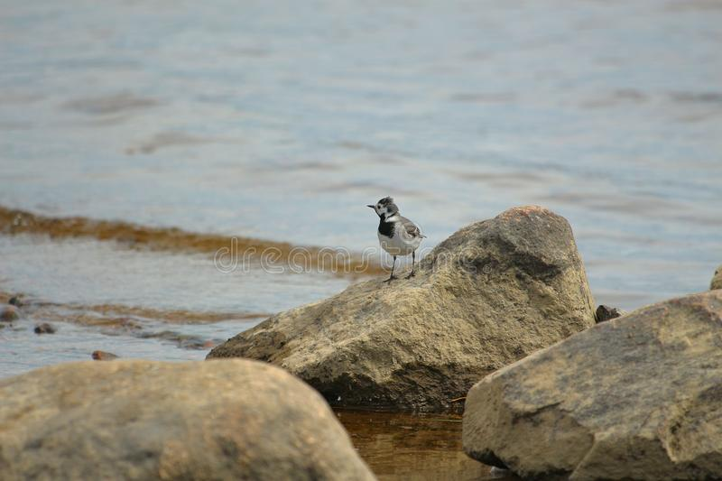 Weinig vogelkwikstaart op de rotsen stock fotografie