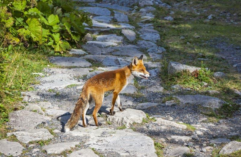 Weinig vos bij het bos in Hoge Tatras-bergen, Slowakije stock fotografie