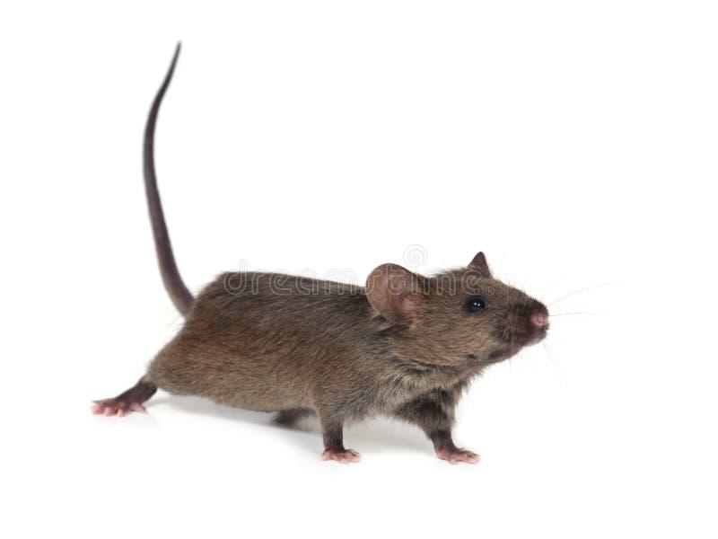 Weinig wilde muis stock afbeelding