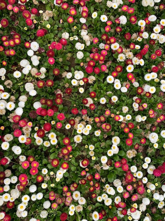 Weinig witte en rode bloemachtergrond royalty-vrije stock fotografie