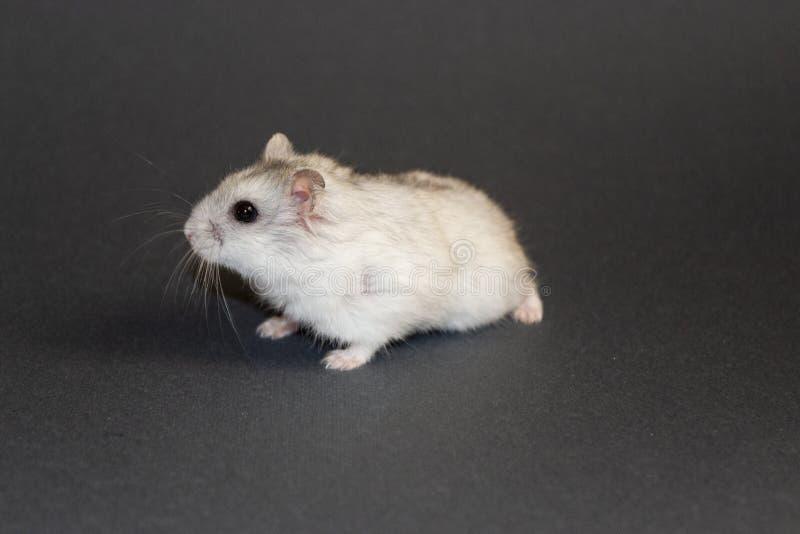 weinig witte hamster op grijze achtergrond stock afbeelding