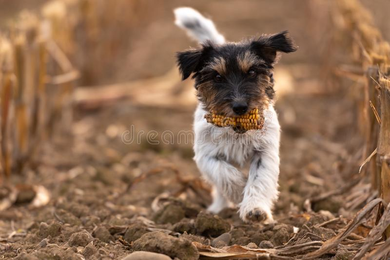 Weinig zoet ruwharig Jack Russell Terrier draagt een maïskolf en loopt over een gebied stock afbeelding