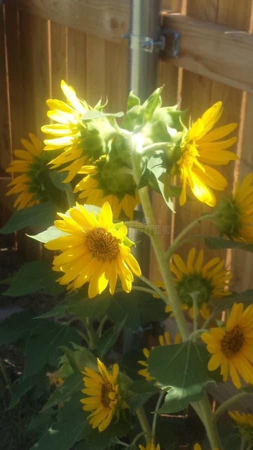 Weinig zonglorie stock foto's