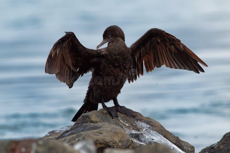 Weinig Zwarte Aalscholver - Phalacrocorax-sulcirostris die vleugels na het duiken voor vissen in Australië drogen royalty-vrije stock foto