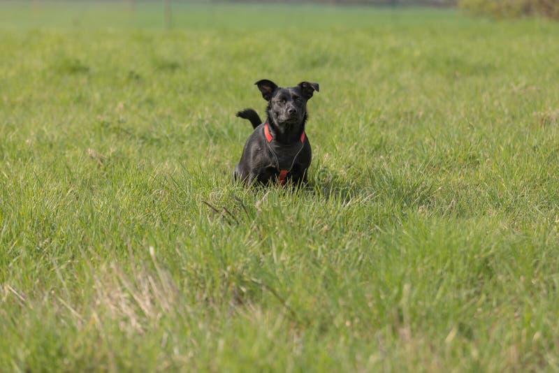 Weinig zwarte hond die in een weide plast royalty-vrije stock afbeelding