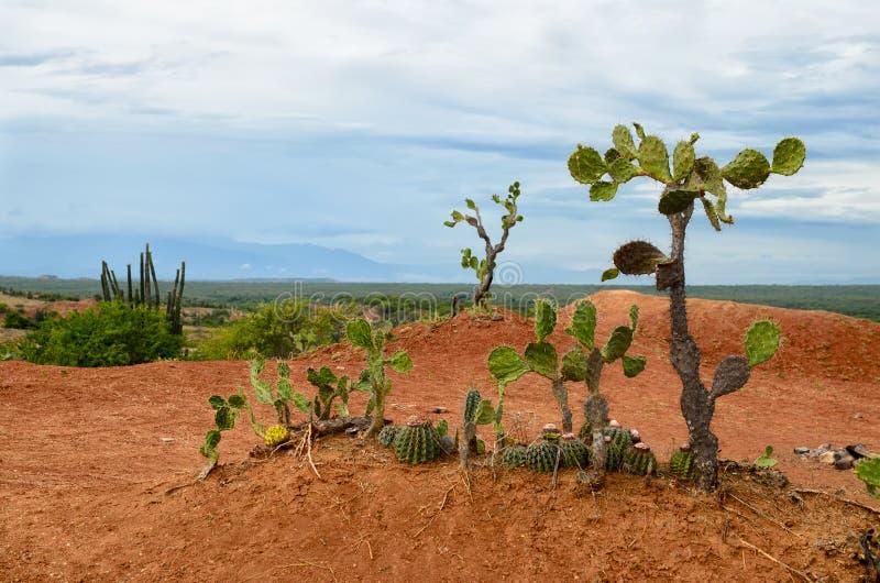 Weinigen verschillende cactus in heldere oranje grond van Tatacoa-woestijn royalty-vrije stock afbeeldingen