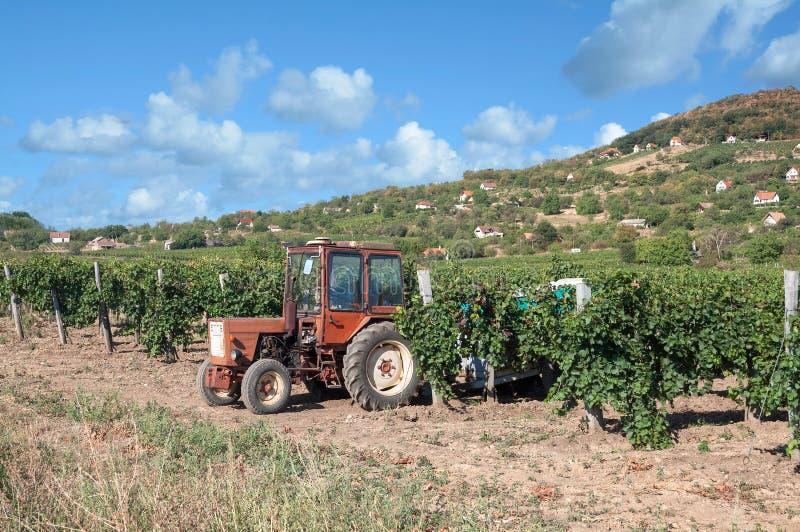 Weinlandschaft, Badacsony, Ungarn lizenzfreie stockfotos